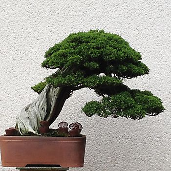 Juniperus chinensis 1_10