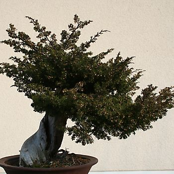 Juniperus chinensis 1_1