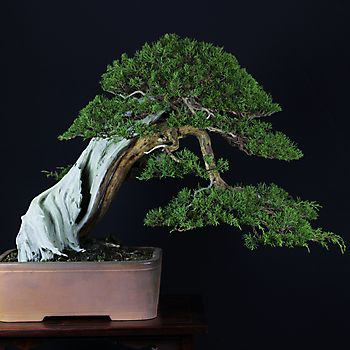 Juniperus chinensis 1_2