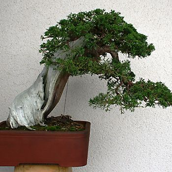 Juniperus chinensis 1_4