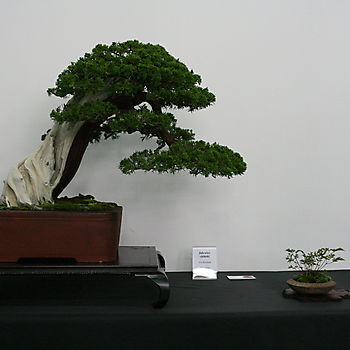 Juniperus chinensis 1_5