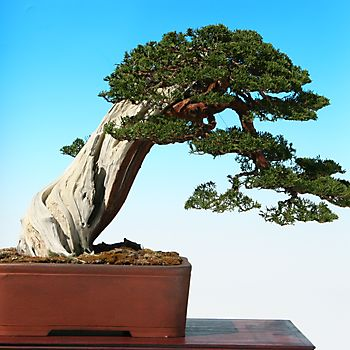 Juniperus chinensis 1_6