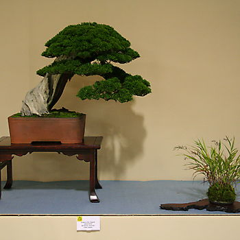 Juniperus chinensis 1_8