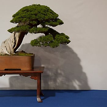 Juniperus chinensis 1_9