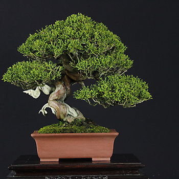 Juniperus chinensis 3