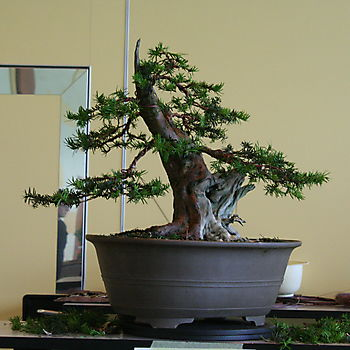 Taxus baccata 2_6