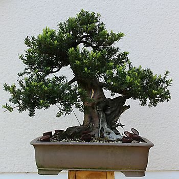 Taxus baccata 2_8