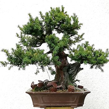 Taxus baccata 2_9
