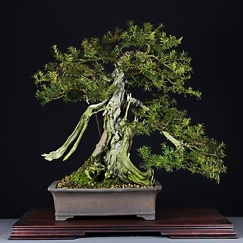 Taxus baccata 4_5